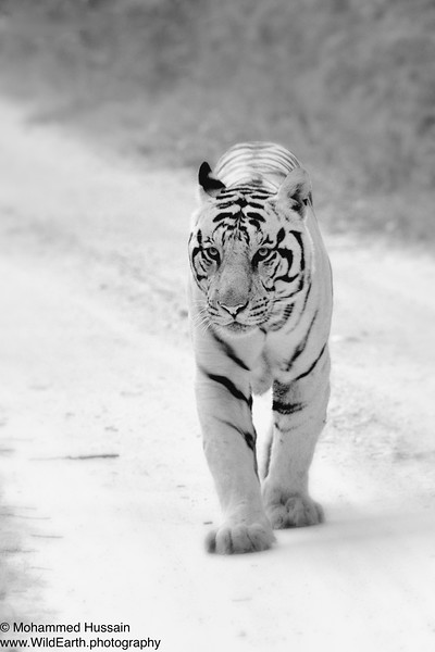 Jungle Walk ~ Kanha National Park, India (Protection Status: Endangered)