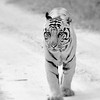 Jungle Walk ~ Kanha National Park, India (Protection Status: Endangered)