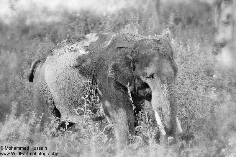 Indian Elephant  ~ Kanha National Park, India.