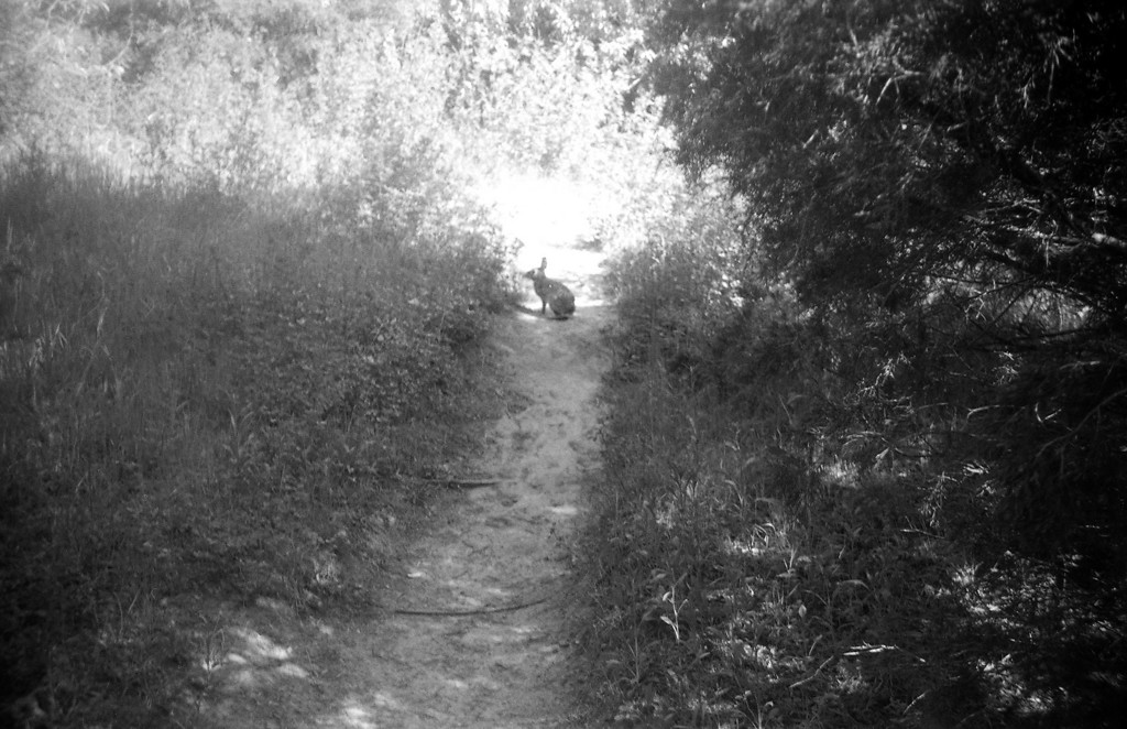 The A2F isn't exactly your typical wildlife camera, but I managed to get the rabbit before he ran off, although I misjudged the distance and didn't get him quite in focus