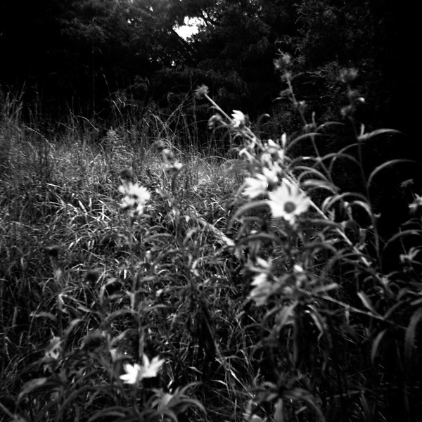 Apparently the Argus 75 is not the ideal camera for close-up flower pictures on a windy day