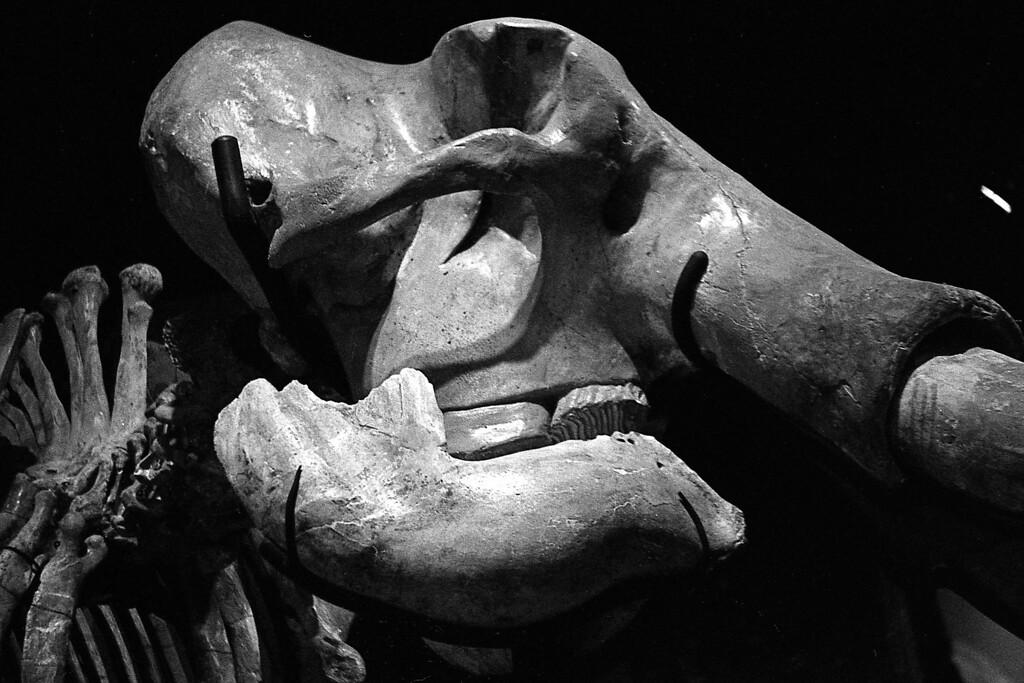 Mastodon at the Sam Nobel Museum of History