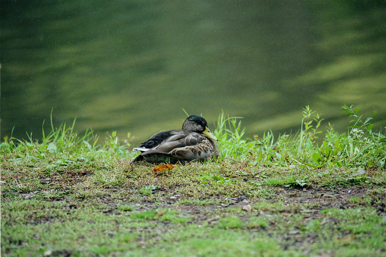 Huddled duck
