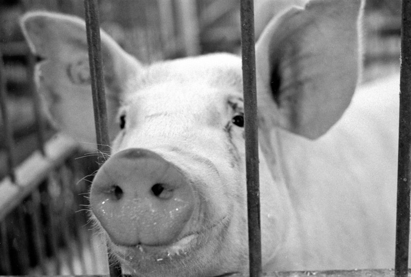 This pig is smiling because he knows that as soon as I'm done snapping the picture he's going to suddenly stretch out through the bars and lick the lens.  This is how I know that pig saliva is surprisingly difficult to clean off.