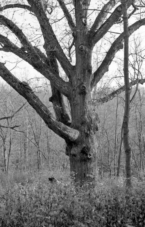 """Four hundred year old tree, one of the """"Three Sisters""""  of Sugarcreek."""