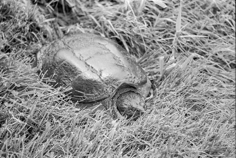 Snapping turtle in the grass.<br /> <br /> May 2013<br /> Neopan 400 in DD-X