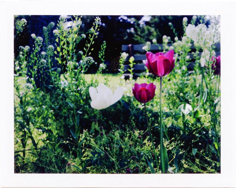 Spring flowers<br /> Cox Arboretum with my Polaroid 250