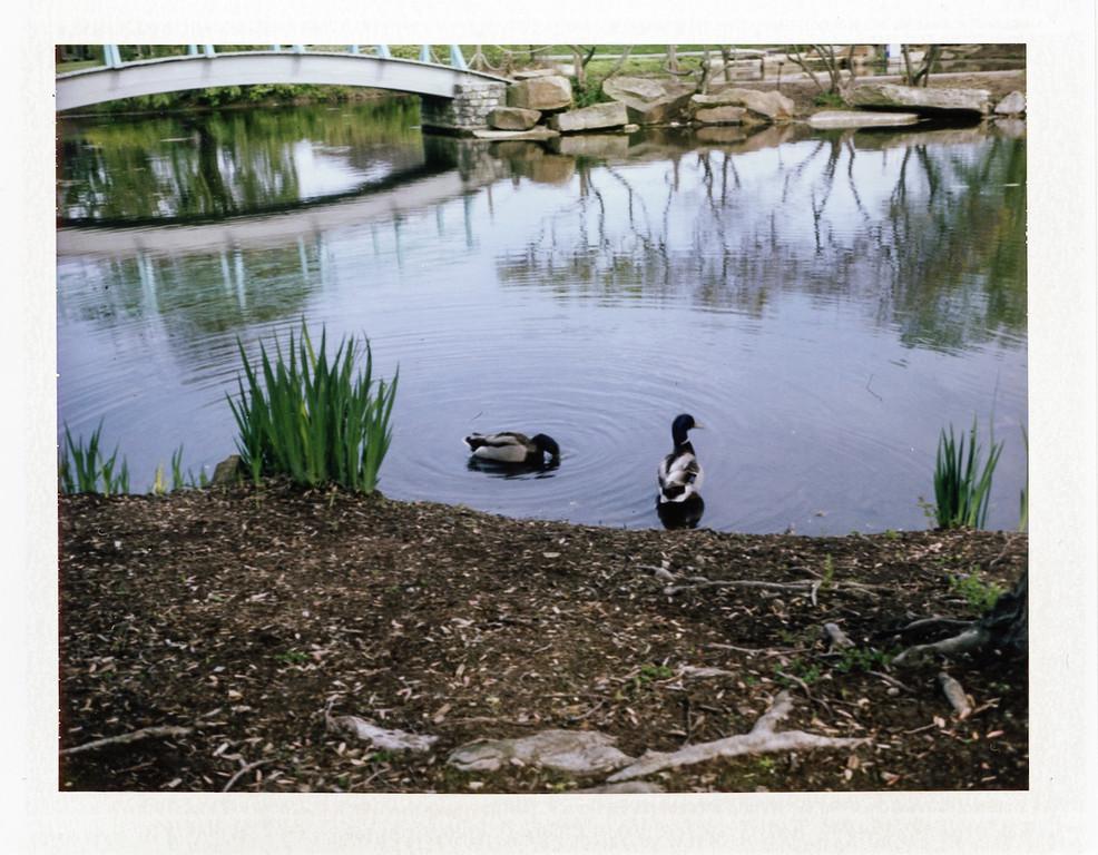 Ducks<br /> Cox Arboretum with my Polaroid 250