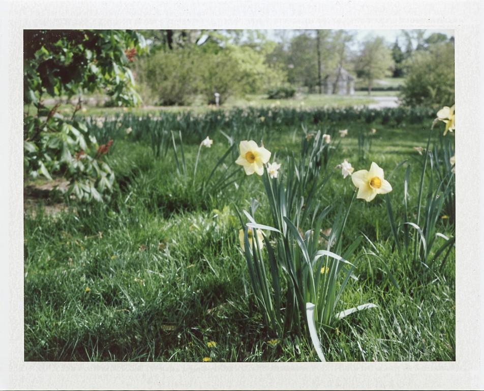 Daffodils<br /> <br /> Cox Arboretum with my Polaroid 250