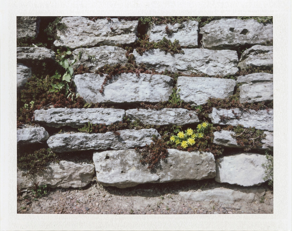 Flowers in the wall<br /> Cox Arboretum with my Polaroid 250