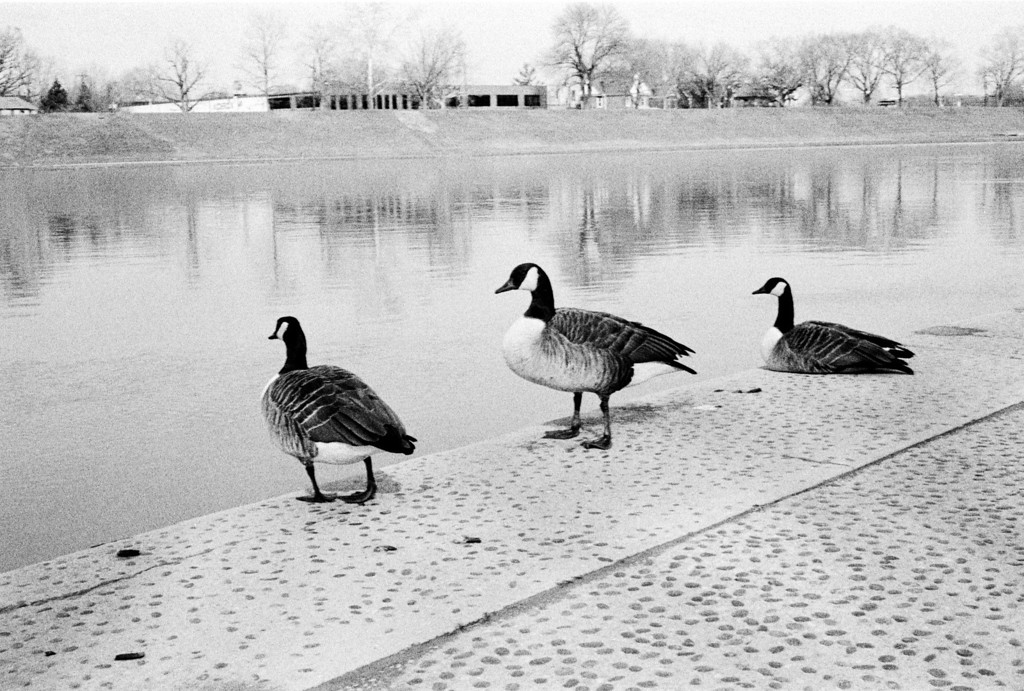 A trio of rather nonchalant geese at riverscape