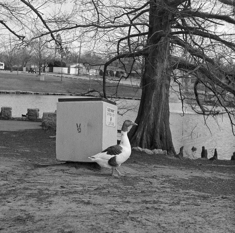 This psychotic goose was zealously guarding this trash can, pacing back and forth in front of it.  As soon as I took a step closer he would charge at me, he did this repeatedly, running and hissing like mad.   I looked all over to see if there was a nest hidden somewhere but I didn't see one and it was a little too early in the year anyway.  Maybe he thought there was something good inside.