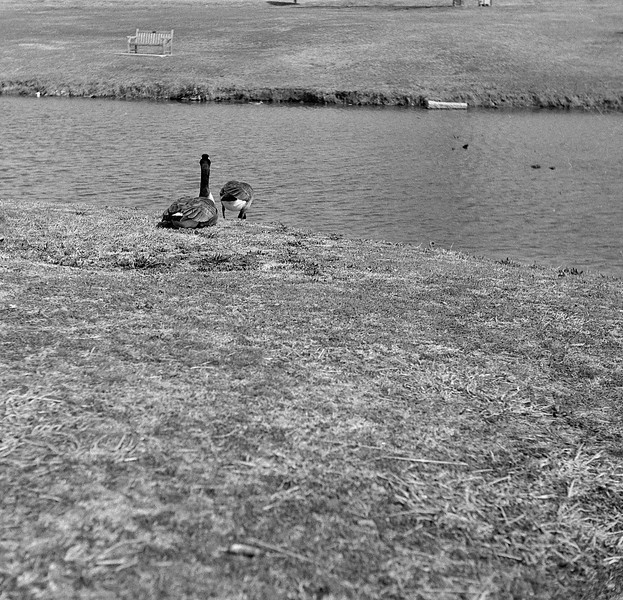 More Canada geese.<br /> <br /> Efke R100 in Rodinal (1+50)