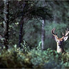 Adirondacks Forked Lake Whitetail Buck July 1981