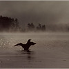 Adirondacks Forked Lake Loon Displaying July 1977