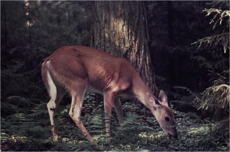 Adirondacks Forked Lake Whitetail Doe 1 August 1976