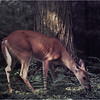 Adirondacks Forked Lake Whitetail Doe 1 August 1976