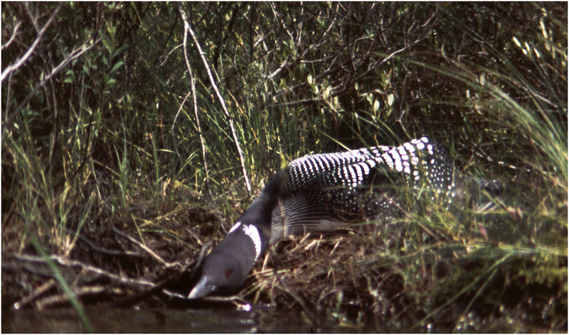 Adirondacks Forked Lake Brandreth Inlet Loon on Nest  August 1978