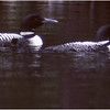 Adirondacks Forked Lake Loon Family Floating July 1982