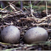 Adirondacks Forked Lake Brandreth Inlet Loon Eggs on Nest  August 1978