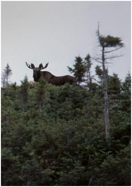 Nova Scotia Canada Cape Breton Moose  October 1988