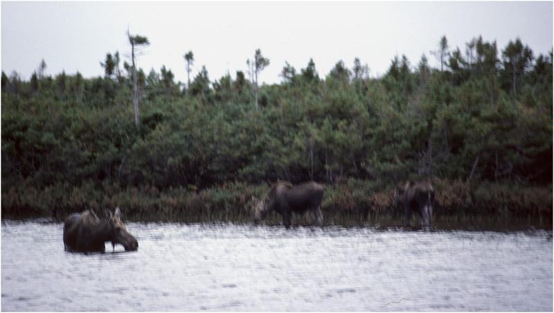Nova Scotia Canada Cape Breton Moose Family 1 October 1988