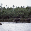 Nova Scotia Canada Cape Breton Moose Family 1 October 1988