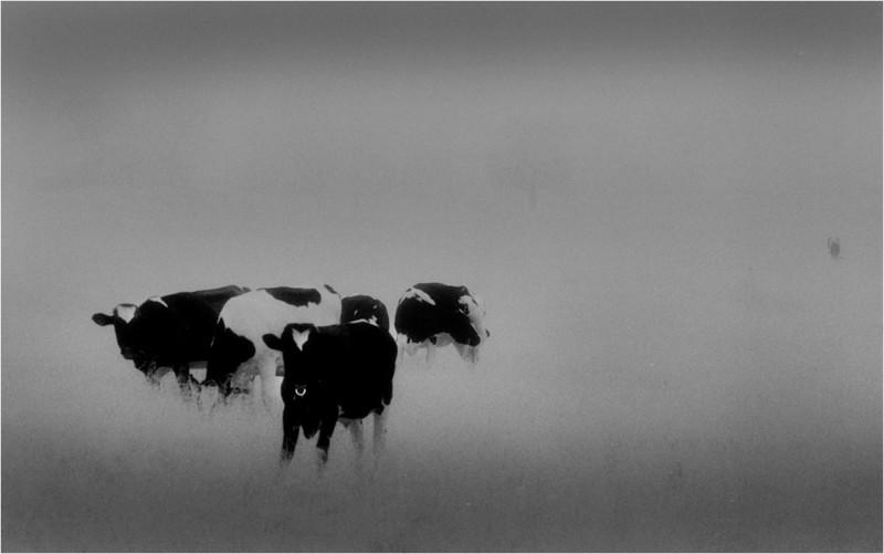 Elsmere NY Kleinkes Herd of Cows 3 IR Film May 1992