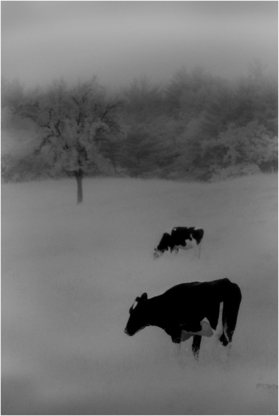 Elsmere NY Kleinkes Two Cows and Tree 1 IR Film  May 1992