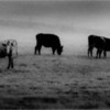 Rennselaer County NY Line of Cows IR Film September 1987