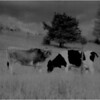 Washington County NY Grazing Cows 4 IR Film May 1983