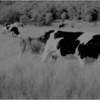 Washington County NY Grazing Cows 2 IR Film May 1983
