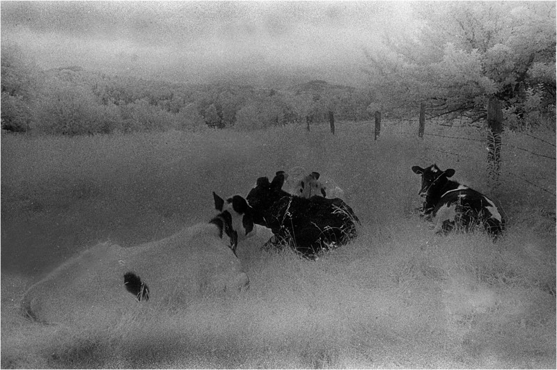 Arlington VT Cows 1 IR Film June 1989