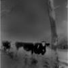 Washington County NY Cows and Tree  IR Film June 1987