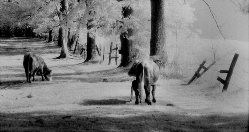 Arlington VT Two Cows IR Film May 1983