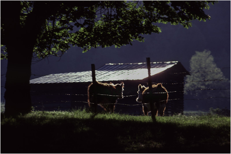 Asheville NC Cows and Shed May 1981