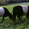 Camden ME Oreo Cows 1 September 1990