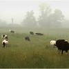 Delmar NY Kleinkes Color Grazing Cow 2