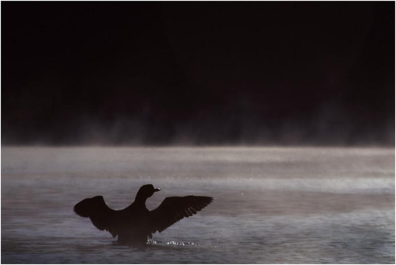 Adirondacks Forked Lake Loon Displaying July 1978
