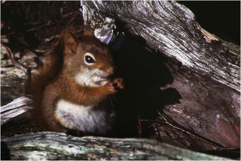 Adirondacks Long Lake Red Squirrel 1  July 1981
