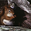 Adirondacks Long Lake Red Squirrel 1  July 1981