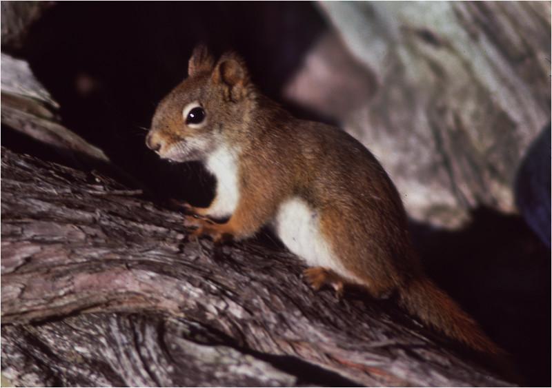 Adirondacks Long Lake Red Squirrel 2