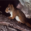 Adirondacks Long Lake Red Squirrel 2