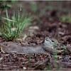 Grand Teton Park  WY Jenny Lake Ground Squirrels 2 June 1980