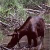 Grand Teton Park  WY Cascade Canyon Moose 3 June 1980