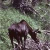 Grand Teton Park  WY Cascade Canyon Moose 2 June 1980