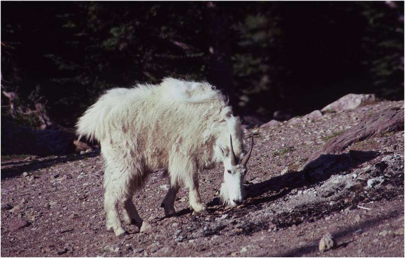 Glacier Park MT Sperry Glacier Mountain Goat 1 July 1980