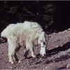 Glacier Park MT Sperry Glacier Mountain Goat 1 July 1980