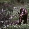 Grand Teton Park  WY Cascade Canyon Moose 6 June 1980