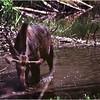 Grand Teton Park WY Bull Moose 1 July 1980